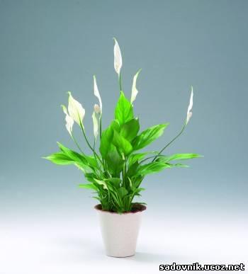 спатифиллум, листья чернеют, а потом начинают отмирать корни