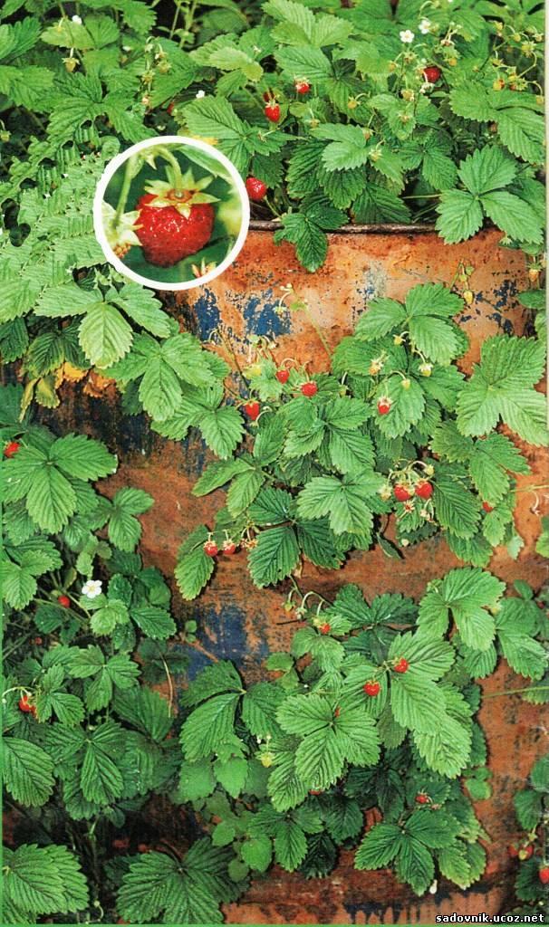 Выращивание клубники в бочке отзывы 23