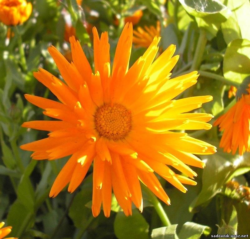 Цветы защитники от вредителей